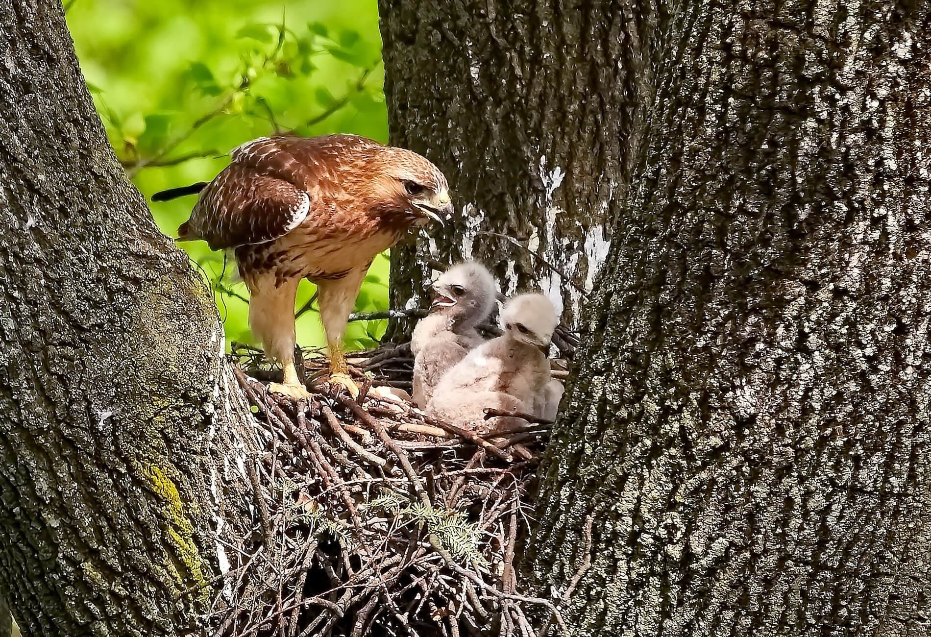 eagle mother in the nest with her two chicks