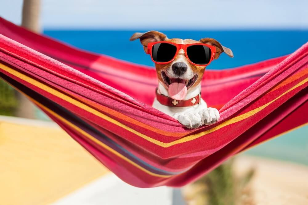 Jack Russell terrier in sunglasses in a hammock on a beach